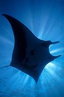 manta ray, Manta birostris, Mexico