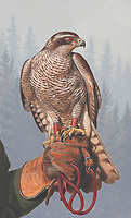 Painting of goshawk perched on falconer's glove