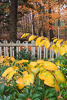 Hamamelis Pallida autumn witchhazel with Hostas in autumn fall matching foliage color, picket fence, hellebores, trees
