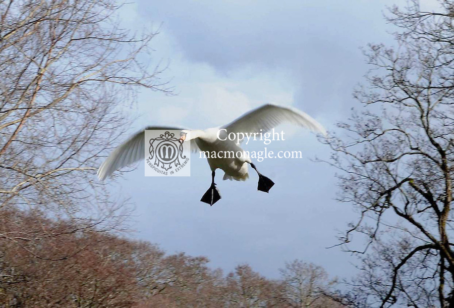 Swans fly at Ross Castle, Killarney..Picture by Don MacMonagle