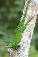 Green Iguana; Canopy Tower; Panama;