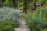 Paved path under trellis between Teucrium fruticans, Shrubby bush Germander, and yellow flowering Dendromecon harfordii (Channel Island Bush Poppy)Judy Adler Garden, Walnut Creek, California