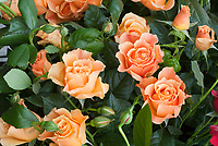 Roses 'Easy Going' (Harflow) peach orange, floribunda roses