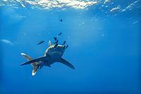 Aegypten Rotes Meer Weisspitzen Hochseehai Carcharhinus longimanus, Middle East Egypt Red Sea Oceanic whitetip shark Carcharhinus longimanus