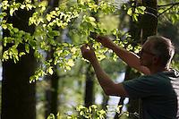 Buche, Rot-Buche, Rotbuche, Fagus sylvatica, Blätter werden gesammelt, geerntet, Ernte, Blatt, Blätterdach, Blattwerk, Buchenblatt, Buchenblätter, Common Beech, leaf, leaves