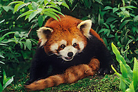 Red Panda or Lesser Panda resting on rock.  China.