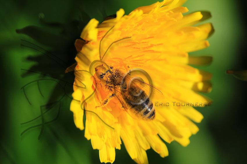 A bee covered in pollen flies off to gather nectar from a dandelion.///Une abeille recouverte de pollen vole pour butiner une  fleur de pissenlit.