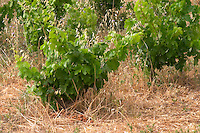 Domaine de la Garance. Pezenas region. Languedoc. Vines trained in Gobelet pruning. France. Europe. Vineyard.