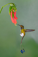 Booted Rocket Tail hummingbird in Ecuador visits a red flower at the Tandayapa bird lodge in Ecuador.