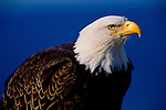 Portrait of a bald eagle in Southeast Alaska.