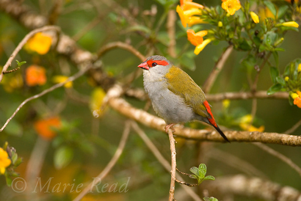 Red-browed Finch (=Firetail) (Neochmia temporalis), Atherton Tableland, Queensland, Australia