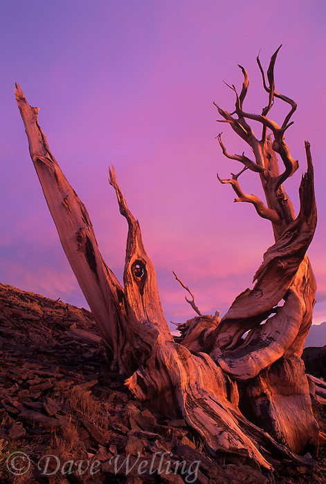 730252035 an ancient bristlecone pine pinus longeava clings to a rocky hillside in sunset light in the white mountains of central california