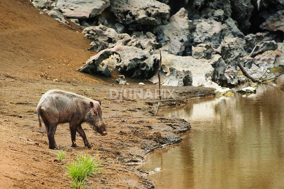 This underfed bearded pig depends on karst waterholes throughout Sangkulirang's prolonged dry season. Under hunting pressure throughout Kalimantan, wild pigs are vital for aiding reforestation via seed dispersal.