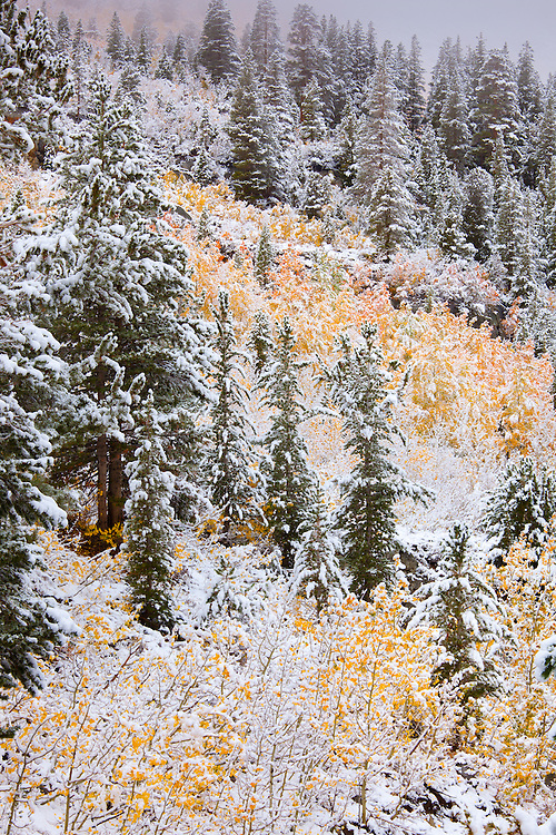 Snow-covered Aspen (Populus tremuloides), also Quaking, Trembling or American Aspen in autumn. Native to northern and western North America. Eastern Sierra Nevada Mountains near Bishop, Inyo National Forest, Inyo County, CA.