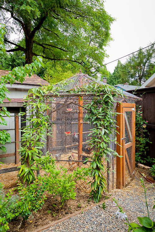 Chickens outside of their coop in an urban backyard in Portland, Oregon