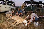 African Lion (Panthera leo) biologists, Jonah Gula, Milan Vinks, Caz Sanguinetti, and veterinarian, Kambwiri Banda, collaring six year old female lion, Kafue National Park, Zambia