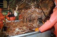 "Opilio crab is dumped out of a crab pot onboard the fishing vessel ""Kiska Sea"" in the Bering Sea in January 1995.  In this photo deckhand Jason Worman (center) remarks ""Money on the table!""  Crewmen must sort out the females and juveniles and throw them back into the sea as a way of preserving the stock. The Bering Sea is known for having the worst storms in the world.   Crab fishing in the Bering Sea is considered to be one of the most dangerous jobs in the world.  This fishery is managed by the Alaska Department of Fish and Game and is a sustainable fishery.  The Discovery Channel produced a TV series called ""The Deadliest Catch"" which popularized this fishery. Today this fishery, largely based out of Dutch Harbor, AK has been consolidated resulting in a lot less boats fishing."