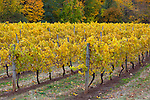 Hood River County, Oregon<br /> Vineyard yellow with fall colors in the Hood River Valley