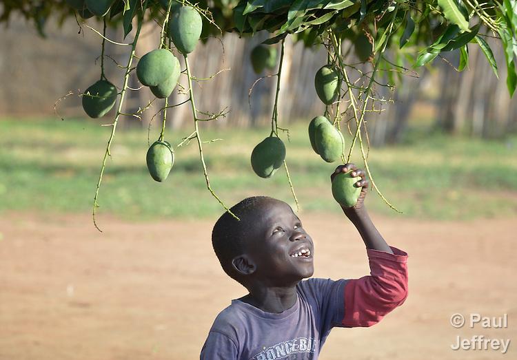 A boy pulls on a mango in Mundri, South Sudan.