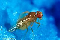 1D05-019a  Fruit Fly - red eyed adult -  Drosophila melanogaster