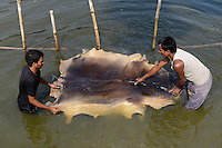 BANGLADESH, District Tangail, Kalihati, village Southpara, tannery, worker wash salted animal skin in river, after it will processed to leather / BANGLADESCH, Distrikt Tangail, Kalihati, Dorf Southpara, Gerberei, Ausspuelen von gesalzenen Tierhaeuten in einem Fluss