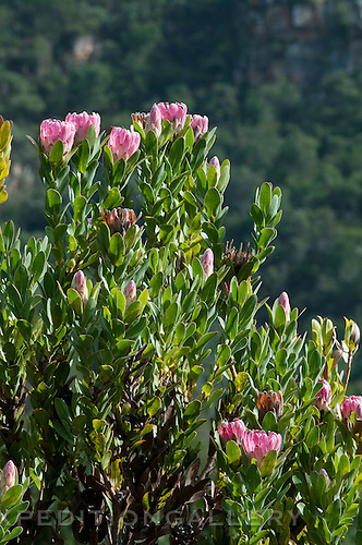 Protea flowers (Protea sp.), Kirstenbosch National Botanical Garden, Cape Town, South Africa.
