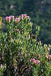 Protea flowers (Protea sp.), Kirstenbosch National Botanical Garden, Cape Town, South Africa.
