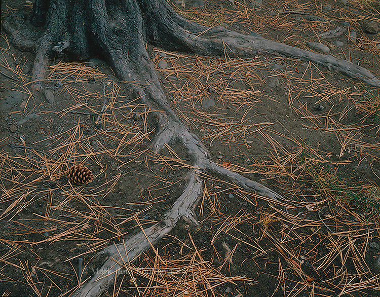 Roots of a ponderosa pine