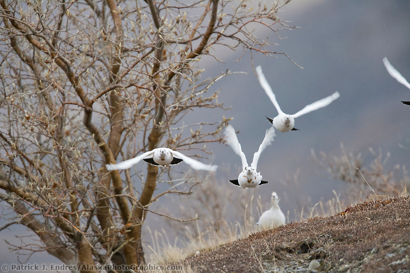 Willow Ptarmigan take flight, Atigun Canyon, Brooks Range, Alaska.