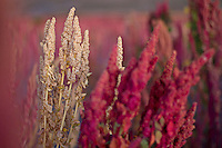A picture dated March 31, 2013 shows plants of quinoa in the region of the Uyuni Salt Flats, Jirira, in Oruro, Bolivia.  2013  was declared the international year of Quinoa by the UN.  Bolivia is the main producer of quinoa in the world.