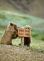 Grizzly Bear cubs, Denali National Park, Alaska