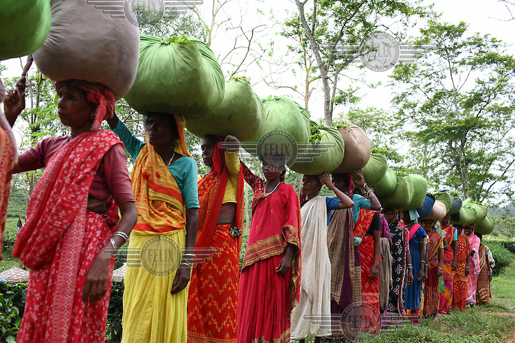 Workers carry bundles of tea to be weighed at the Surma Tea Estate in Sylhet, which at over 8,000 acres is one of the largest plantations in Bangladesh. The workers are employed six days a week, from 9.30 am to 5 pm. A week's work earns them around 210 taka (3 USD). Tea is a major industry in Bangladesh, and the plantation workers in Sylhet are made up mostly of the indegenous group called the Santals. Plucking is a specialised skill. Two leaves and a bud need to be plucked in order to get the best taste and profitability.