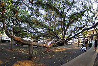 A grand view of Lahaina's famous banyan tree, Maui
