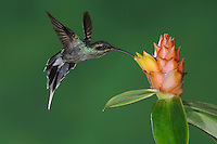 Green Hermit, Phaethornis guy, male in flight feeding on Spiral Ginger (Costus Pulverulentus), Central Valley, Costa Rica, Central America