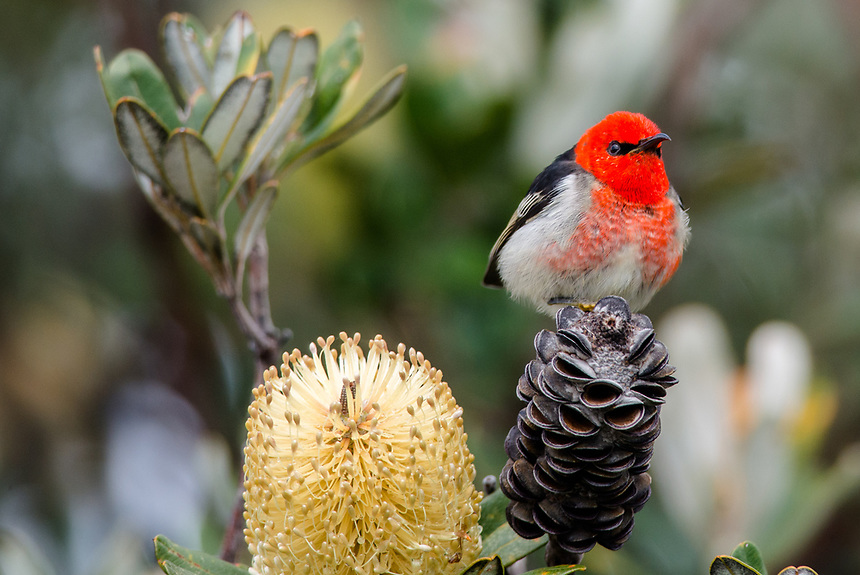 Scarlet Honeyeater, South Ballina, New South Wales.