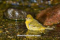 01528-00613 Summer Tanager (Piranga rubra) female bathing, Marion Co., IL
