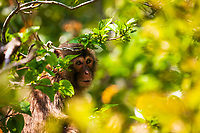 Macaque in his forest home on the Izu Peninsula in Japan. The forest seems aglow in the sweet morning light.