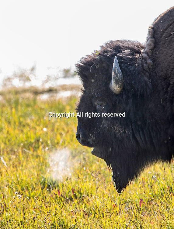 Bison are a common site in Yellowstone.