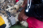 Snow Leopard (Panthera uncia) veterinarian, John Ochsenreiter, drawing blood during collaring of male, Sarychat-Ertash Strict Nature Reserve, Tien Shan Mountains, eastern Kyrgyzstan