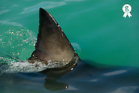 Dorsal aileron of a Great White shark (Carcharodon carcharias) (Licence this image exclusively with Getty: http://www.gettyimages.com/detail/200482558-001 )