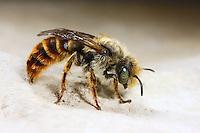 Rothaarige Schneckenhausbiene, Mauerbiene, Osmia rufohirta, Mauerbienen, Mason bee, Mason bees