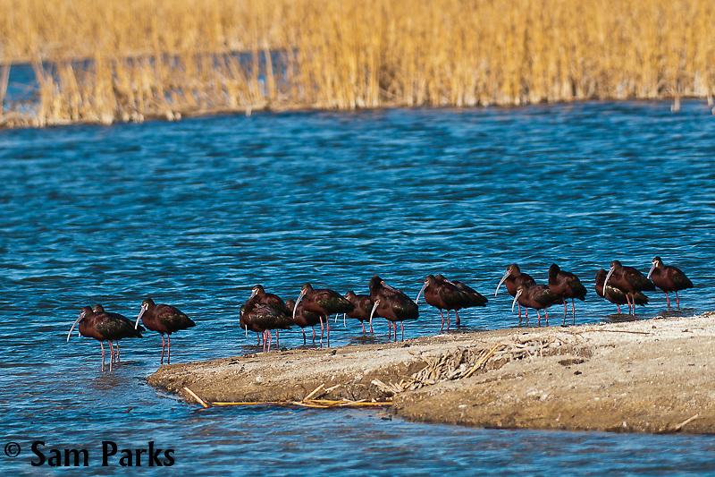 White-faced ibis. Hutton Lakes National Wildlife Refuge, Wyoming.