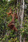 Bornean Orangutan (Pongo pygmaeus wurmbii) - mother, child and juvenile