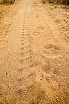 African Leopard (Panthera pardus) tracks on dirt road next to tire marks, Lope National Park, Gabon