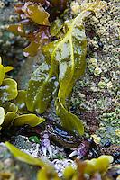 Purple Shore Crab (Hemigrapsus nudus) hiding in cleft in rocks.  Pacific Northwest Pacific Ocean coast.