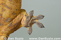 Left rear foot pads of New Caledonian Crested Gecko, Rhacodactylus ciliatus, also called Guichenot's Giant Gecko or Eyelash Gecko.  Microscopic setae and spatulae on the gecko's feet allow it to walk on almost any surface.  Endemic to New Caledonia in the South Pacific, the crested gecko was thought extinct until it was rediscovered in 1994.  It is now one of the most commonly kept species of gecko in captivity.  .