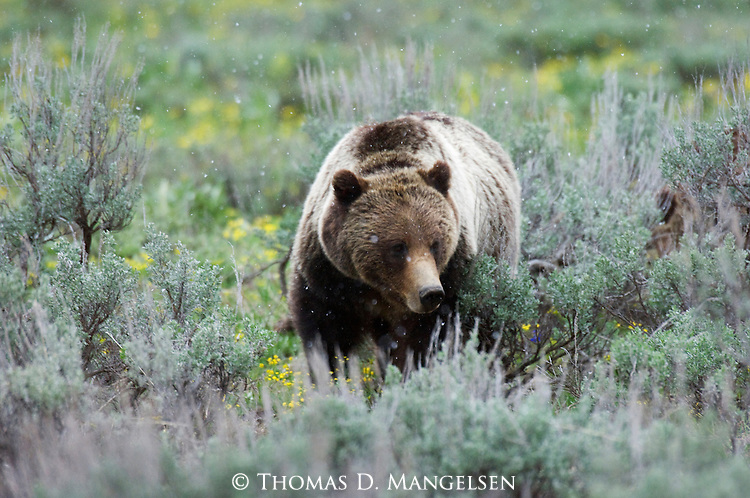 Grizzly No. 399 walking through sagebrush during a spring snowfall in Grand Teton National Park, WY