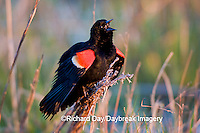 01603-022.19 Red-winged Blackbird (Agelaius phoeniceus) male singing-displaying in wetland Marion Co. IL