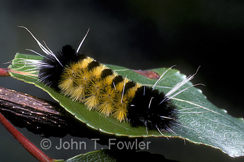 Larva of yellow bear tiger moth, Spilosoma virginica, Arctiidae, Arctiinae