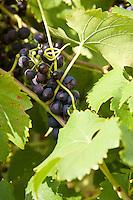 Weinrebe, Wein, Wein-Rebe, Weintraube, Wein-Traube, Früchte, Vitis vinifera, Grape Vine
